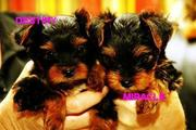 excellent teacup yorkie puppies needs a loving home