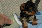 Tea  Cup Yorkie Puppies For  Free Adoption.