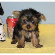 Quality AKC registered Pure Breed yorkies puppies