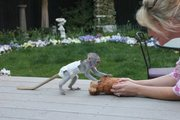 Female capuchon Monkey  for adoption